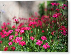The Beauty Of Maiden Pinks Acrylic Print