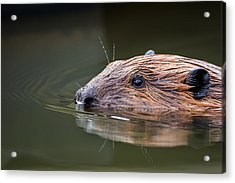 The Beaver Acrylic Print by Bill Wakeley