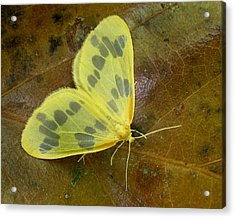 The Beggar Moth Acrylic Print by William Tanneberger