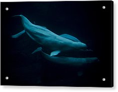 The Beluga Whales Acrylic Print by Jessica Berlin
