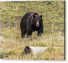 Acrylic Print featuring the photograph The Big Black Grizzly Boar by Yeates Photography