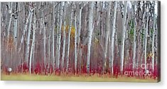 The Birches Panorama  Acrylic Print