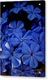 The Blues Acrylic Print by Clare Bevan