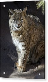 The Bobcat Acrylic Print by Saija  Lehtonen