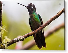 The Body Of A Hummingbird Acrylic Print by Andres Leon