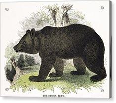 The Brown Bear, Educational Acrylic Print