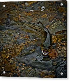 The Brown Trout Acrylic Print by Ernie Echols