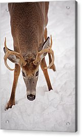 The Buck Stare Acrylic Print by Karol Livote