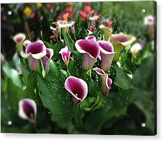 The Calla Lilies Are In Bloom Again Acrylic Print