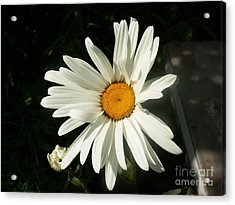 The Camomile Acrylic Print by Evgeny Pisarev