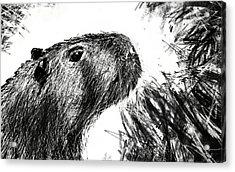 The Capybara  Acrylic Print