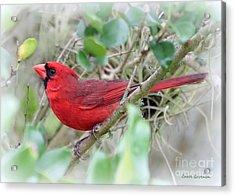 The Cardinal Acrylic Print by Carol Groenen