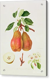 The Chaumontelle Pear Acrylic Print by William Hooker