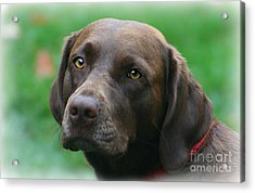The Chocolate Lab Acrylic Print