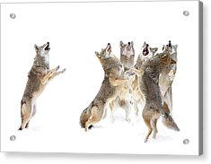 The Choir - Coyotes Acrylic Print