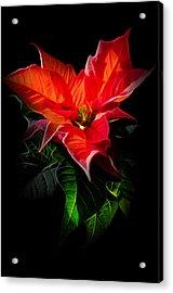 The Christmas Flower - Poinsettia Acrylic Print by Gynt
