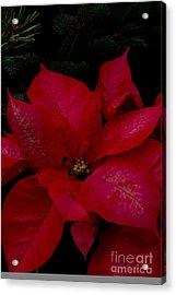 The Classic Christmas Pointsettia Acrylic Print