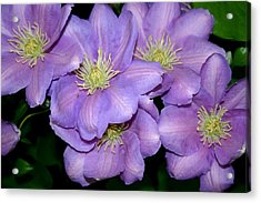 The Clematis Gang Acrylic Print by Sarah OToole