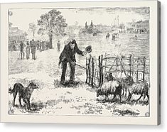 The Collie Dog Trials At The Alexandra Palace,  Penning Acrylic Print