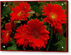Gerbera Daisies Red Acrylic Print by James C Thomas