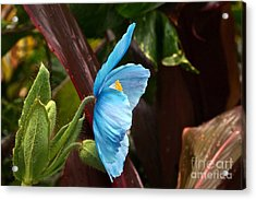 The Colors Of The Himalayan Blue Poppy Acrylic Print