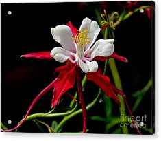 The Columbine Acrylic Print