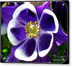 Acrylic Print featuring the photograph The Columbine Flower by Patti Whitten