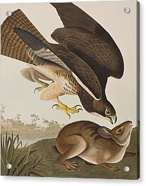 The Common Buzzard Acrylic Print by John James Audubon