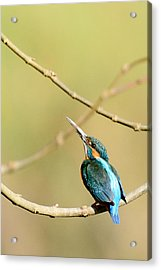 The Common Kingfisher Acrylic Print