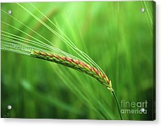 The Corn Acrylic Print