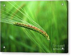 The Corn Acrylic Print by Hannes Cmarits