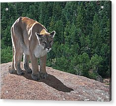 The Cougar 1 Acrylic Print by Ernie Echols