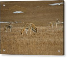 The Coyotes Painterly Acrylic Print by Ernie Echols
