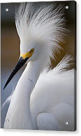 The Crest Of A Snowy Egret Acrylic Print