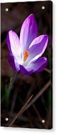 The Crocus Acrylic Print by David Patterson