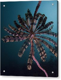 The Cronoid Creature  Acrylic Print by Terry Cosgrave