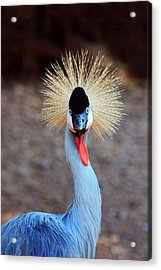 The Crowned Crane Acrylic Print
