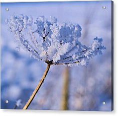 The Crystal Flower Acrylic Print by Dave Woodbridge