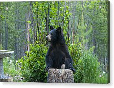The Cub That Came For Lunch 3 Acrylic Print