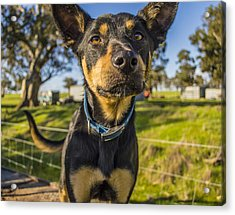 Acrylic Print featuring the photograph The Curious Dog  by Naomi Burgess