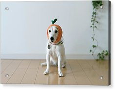 The Cute Dog With A Tangerine Cap Acrylic Print by Hazelog