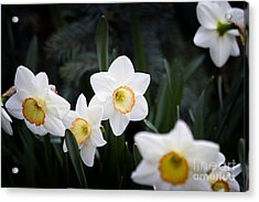 The Daffodil Bloom Acrylic Print by Thanh Tran