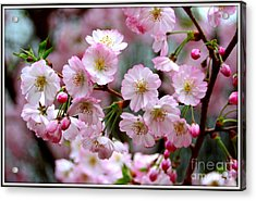 The Delicate Cherry Blossoms Acrylic Print by Patti Whitten
