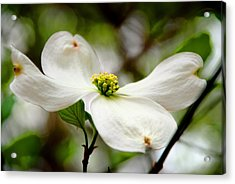 The Dogwood Acrylic Print