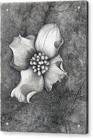 The Dogwood Acrylic Print