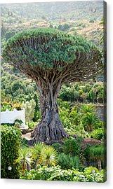 The Dragon Tree / El Drago Milenario Acrylic Print by Gavin Lewis