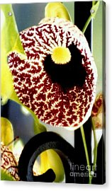 The Dutchman Pipe Flora Acrylic Print by Michael Hoard