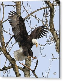The Eagle Is Landing Acrylic Print by Angie Vogel