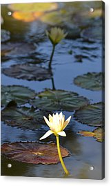 The Echo Of A Lotus Flower Acrylic Print