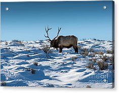 The Elk Acrylic Print